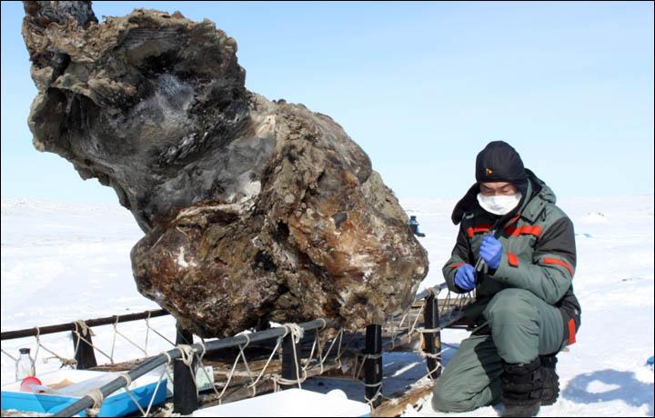 sibiryada bulunan 39000 yıllık mamut