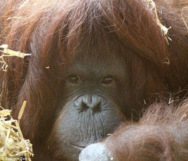 tilda insan gibi konuşan orangutan