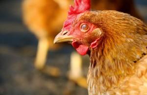 Tavuklar ve Hindiler Dinozorlara Diğer Kuşlardan Daha Yakın