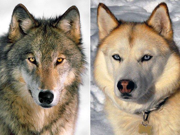 köpeklerin evcilleşme süreci araştırılıyor