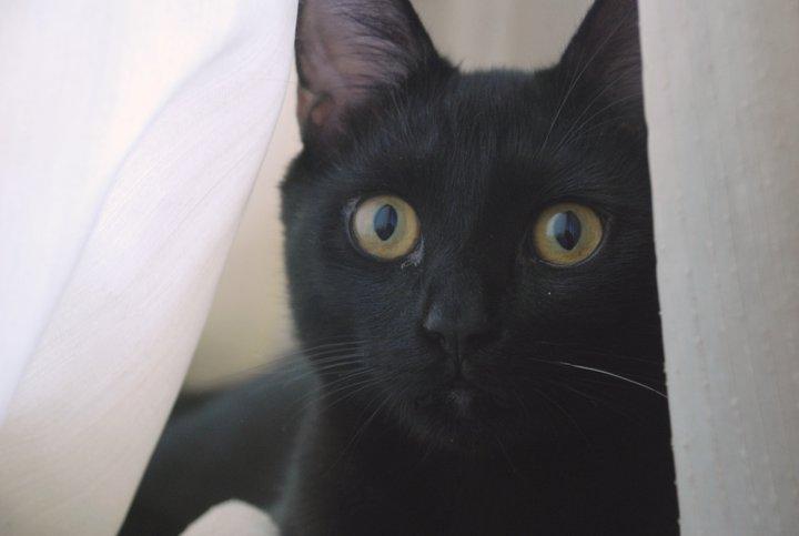 kedilerin evcilleşme süreci