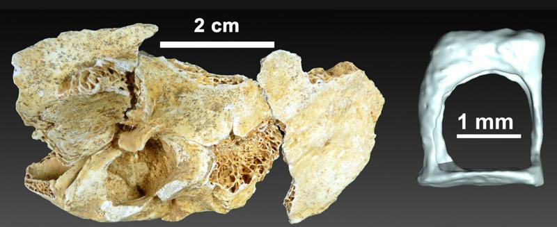 neandertal orta kulak kemiği modern insandan farklı