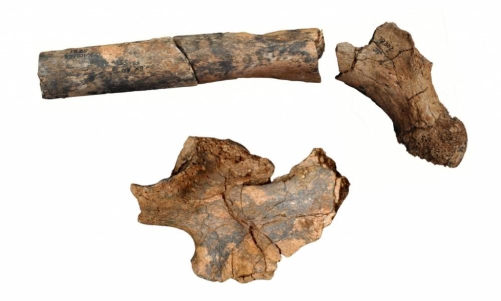 kenya femur pelvis evrim kemik