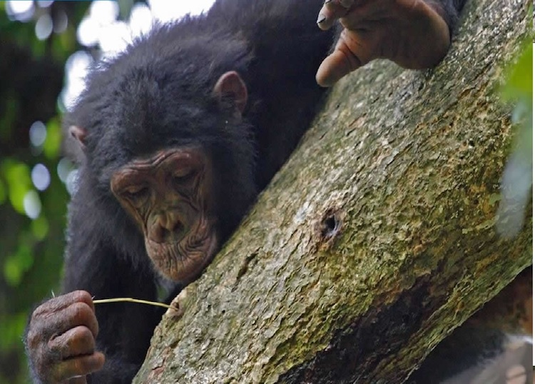 dişi şempanzeler daha çok alet kullanıyor
