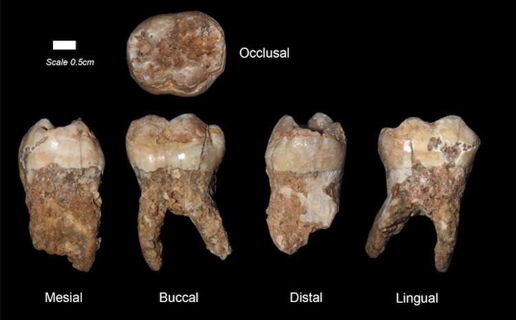 Qesem mağarasından insan dişleri. Görsel: Prof. Israel Hershkovitz, Tel Aviv University