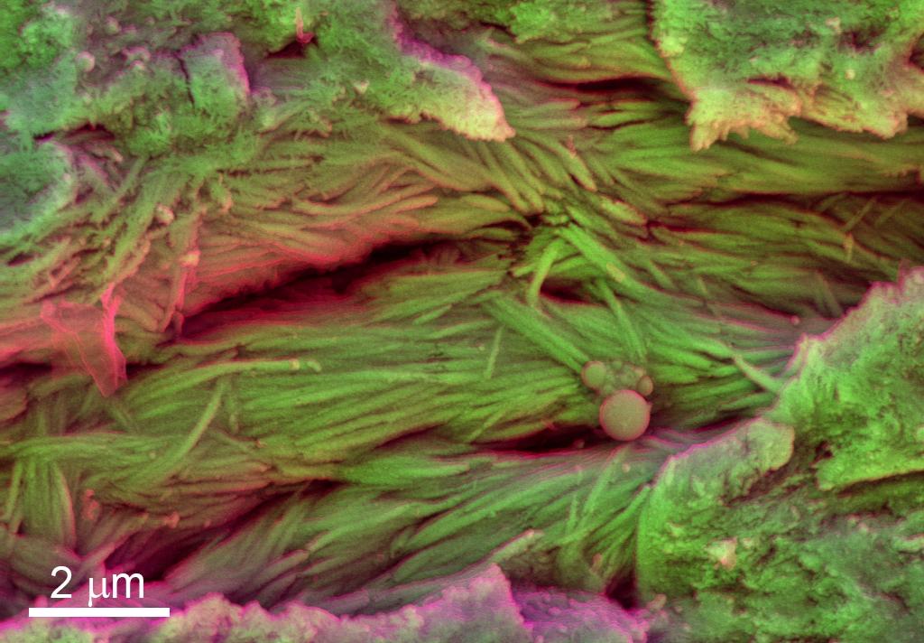 Bir dinozorun kaburgalarındaki mineralleşen dokular, elektron mikrografıyla görülüyor. görsel: Sergio Bertazzo