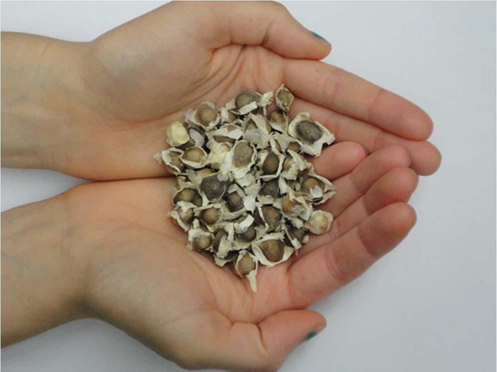 antik mısır moringa su temizleme