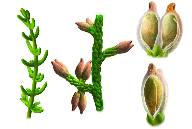 dünyanın ilk çiçekli bitkisi