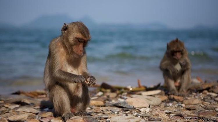 Bir uzun-kuyruklu makak, bir taş aletle midye kırıyor. (Mark MacEwen/NPL)
