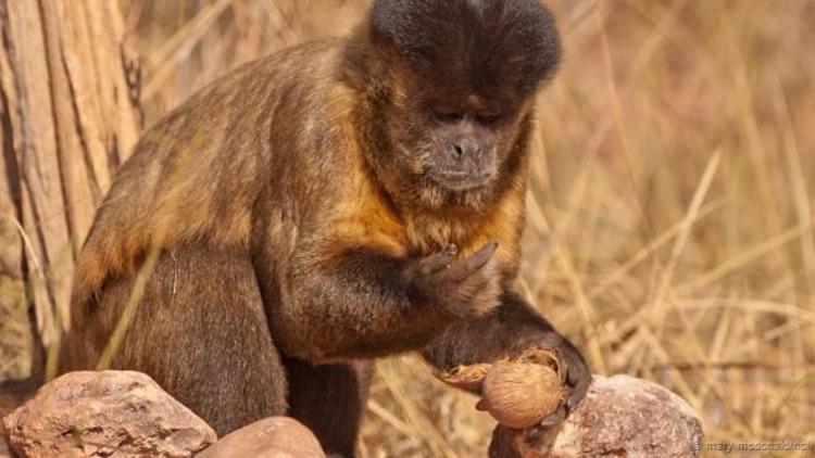 Siyah-çizgili kapuçin kırdığı bir kabuklu yemişi yiyor. ( Mary McDonald/NPL)