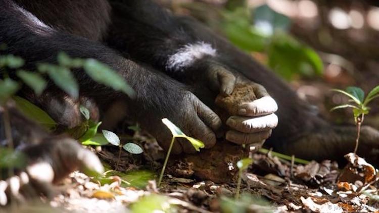 Taş çekiç kullanan bir şempanze (Justine Evans/NPL)