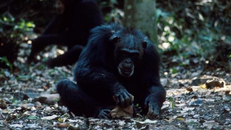 Şempanzeler binlerce yıldır alet kullanıyor. (Bernard Walton/NPL)