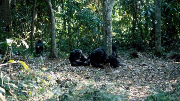 Bir grup şempanze, taşlarla kabuklu yemiş kırıyor. (Bernard Walton/NPL)