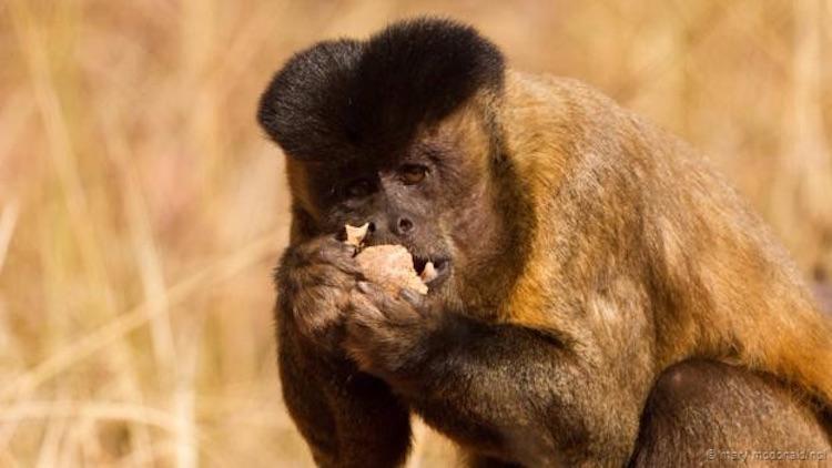 Sakallı kapuçin maymunu, bir taşla kırdığı kabuklu yemişin içini yiyor. (Mary McDonald/NPL)