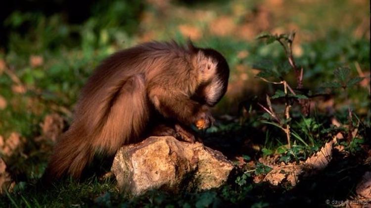 Güney Amerika kapuçin maymunları da taş alet yapmayı öğrenmiş. (Dave Watts/NPL)