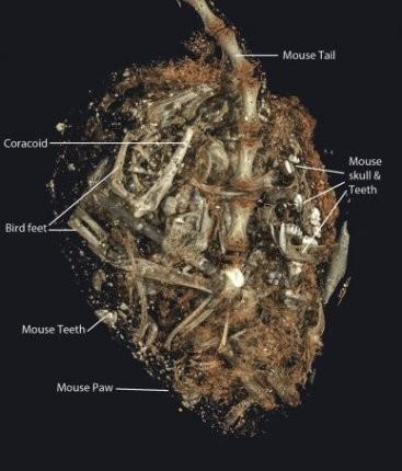 Kerkenezin midesinde yer alan parçalar. Fotoğraf: Stellenbosch University