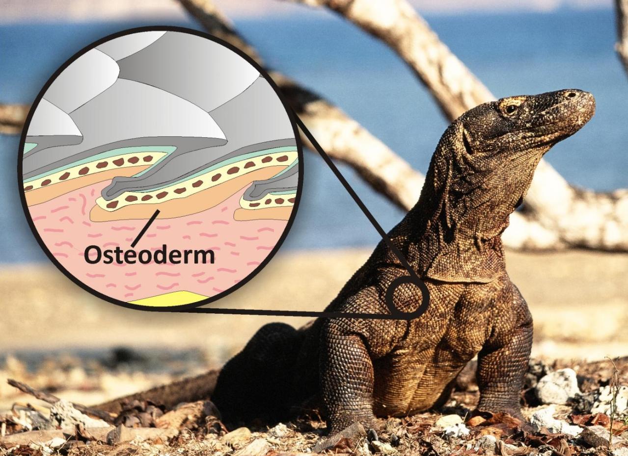 Yaşayan bir komodo ejderi ve osteoderm kemiğinin boyutunu ve vücudun zırhı görevi gördüğünü gösteren illustrasyon. Fotoğraf: Bryan Fry
