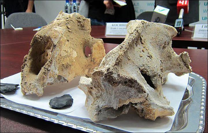 Urallar'da Kemikleri Bulunan Mağara Aslanları Kurban Edilmiş Olabilir