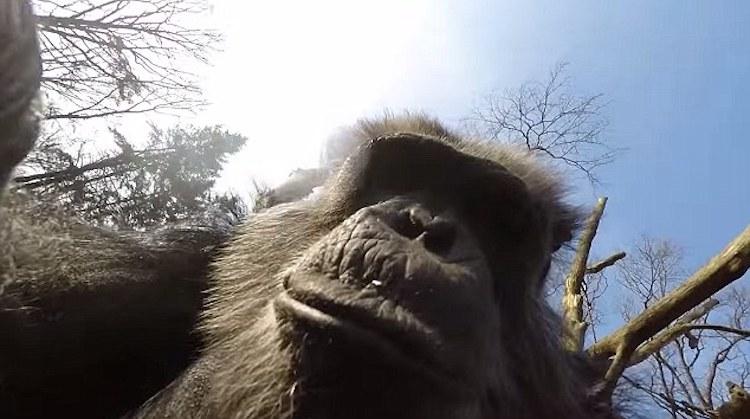 Şempanzeler Önceden Plan Yaparak Aletleri Silah Olarak Kullanabiliyor