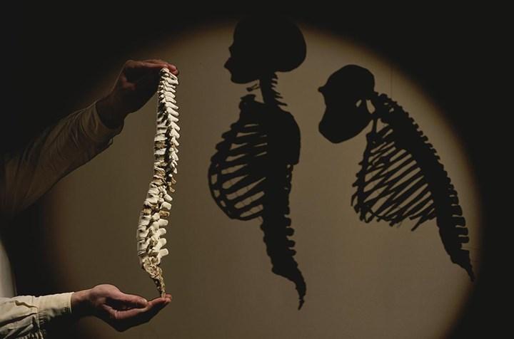 Australopithecus afarensise (Lucy) ait bir omurganın bir modeli, modern insana ve şempanzenin gölgelerinin yanında yerini almış