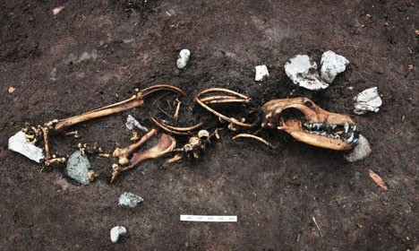 8 köpek iskeleti ve beraberinde üç bağlama kazığı bulundu. Fotoğraf: Jacob Due/Moesgaard Müzesi