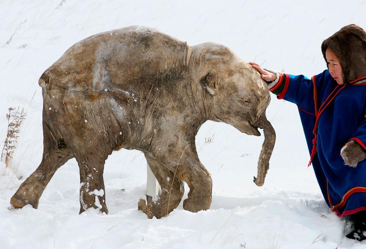 40.000 yıldır donmuş halde olan mamut yavrusu 2007'de Sibirya'da rengeyiği çobanları tarafından keşfedilmişti.  Eriyen buz tabakalarının içinden uzun süredir donmuş başka kalıntılar da gün ışığına çıkabilir. Fotoğraf: Francis Latreille, National Geographic Creative
