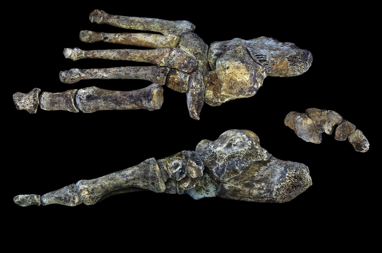 Homo Naledi'nin Ayakları Bizim Gibi Yürümediğini Gösteriyor