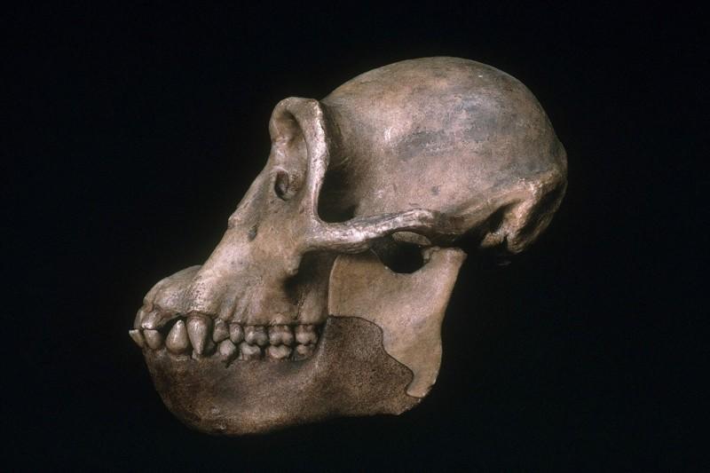 12.5 milyon yıl önce yaşayan Dryopithecus (Görsel: E. R. Degginger/SPL)