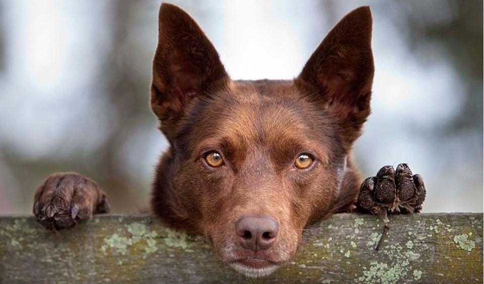 Köpeklerin Kökeni Orta Asya'ya Dayanıyor