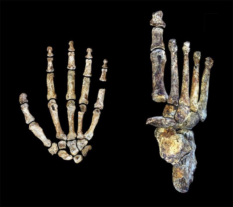 Homo naledi Hem Dik Yürümeye Hem De Ağaç Tırmanmaya Uyum Sağlamış