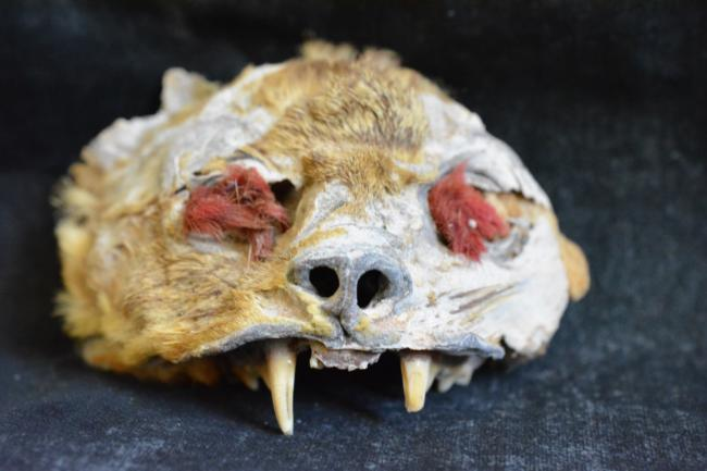 Peru'da 1,000 Yıl Önce Ölüm Ritüelinde Kedi Kafatası Kullanılmış