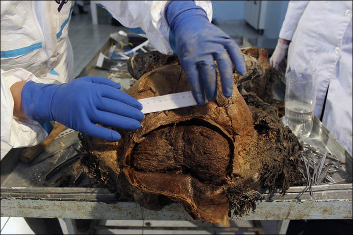 39,000 Yıllık Yavru Tüylü Mamutun Beyni Afrika Filiyle Neredeyse Aynı