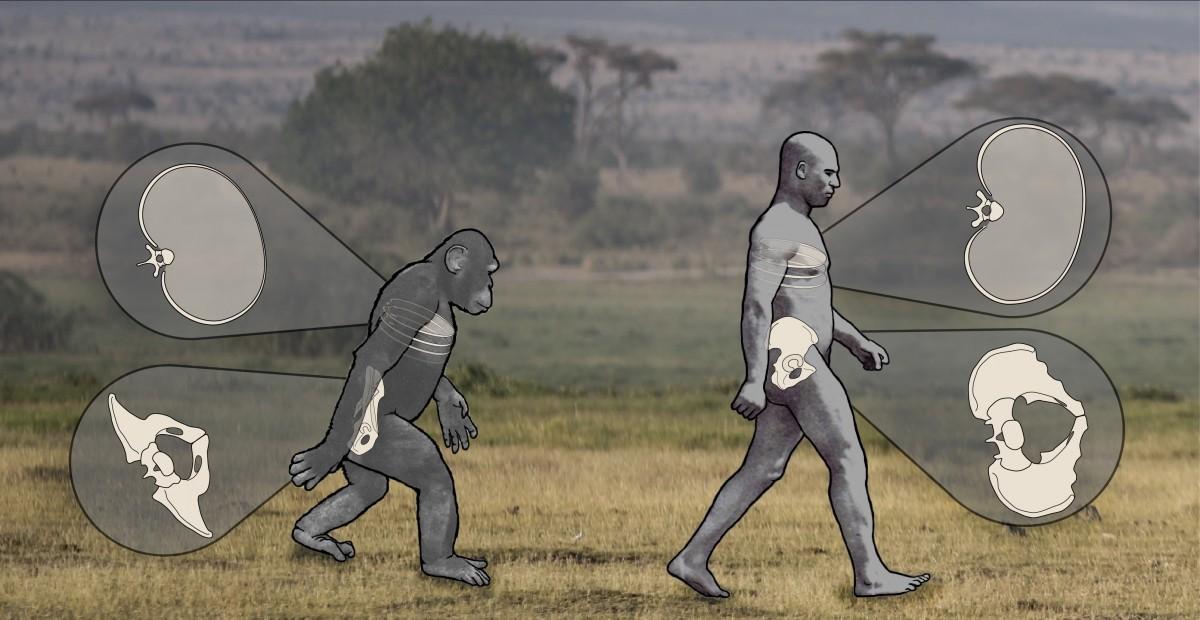 Soyu tükenmiş Avrupa maymunları, bugünün büyük insansı maymunlarına ve ilk insansılara evrimleşmişlerdir. Fotoğraf: Nathan Thompson, Lucille Betti-Nash, ve Deming Yang