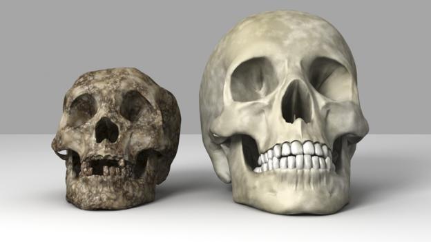 'Hobit' (solda) ve modern insan (sağda) kafatasları (Foto: Equinox Graphics/SPL)