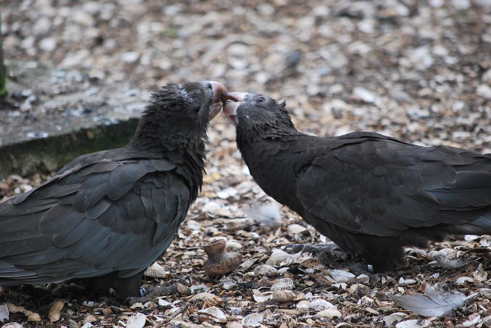 Papağanlar Deniz Kabuklarını Kazımak İçin Alet Kullanıyor