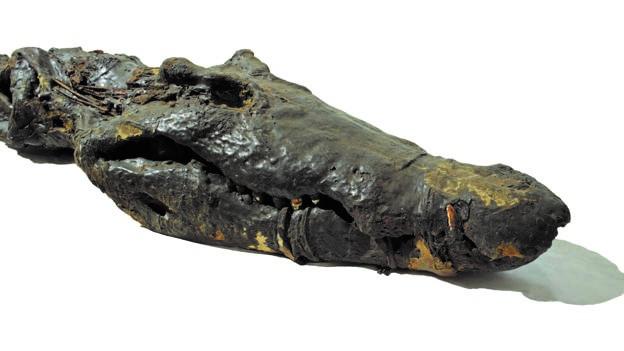 Timsahın arka kısmında 20 adet mumyalanmış yavru yer alıyor. (Fotoğraf: Trustees of the British Museum)