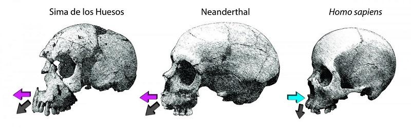 Sima de los Huesos kazı alanında bulunan homininlerin, Neandertaller'in ve insanların üst çene kemiğinin gelişim yönlerinin karşılaştırması. Kaynak: Rodrigo S. Lacruz