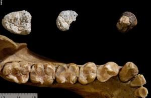 İnsan ve Goril Soyları 10 Milyon Yıl Önce Birbirinden Ayrıldı