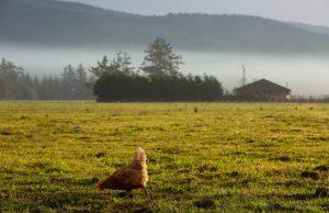 Tavuk Bir Besin Kaynağı Olarak Evcilleştirilmedi