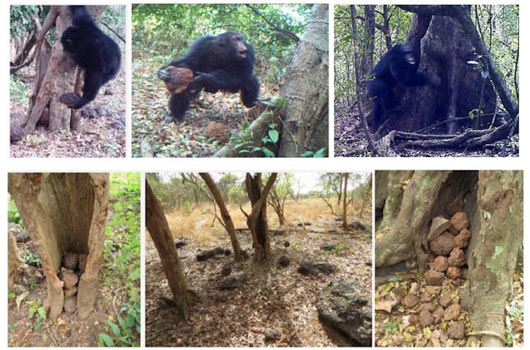 Batı Afrika'da Ağaçları Taşlayan Şempanzeler Gizemli Bir Tavır Sergiliyor