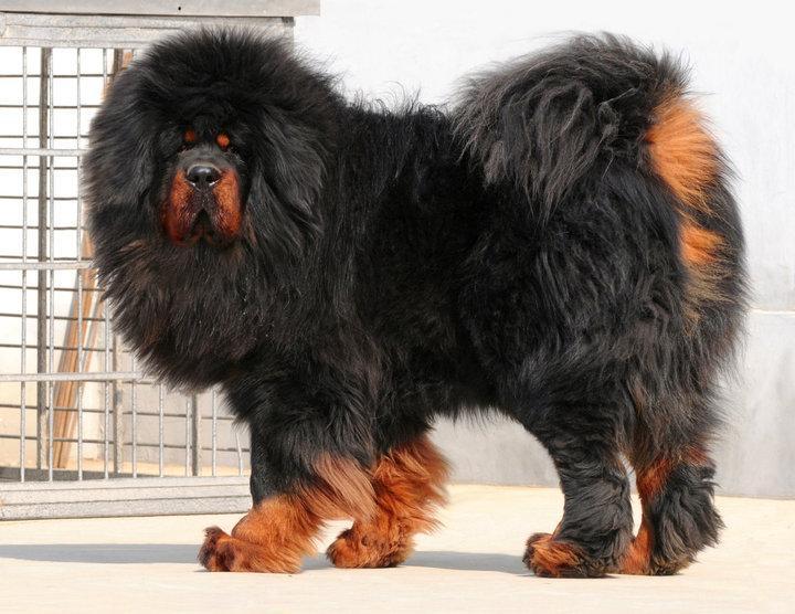 Tibetan-Mastiff-Dog