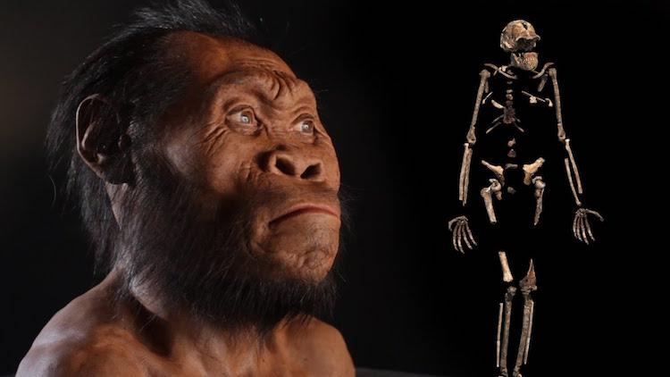 Homo naledi canlandırması ve iskeleti (F: National Geographic)