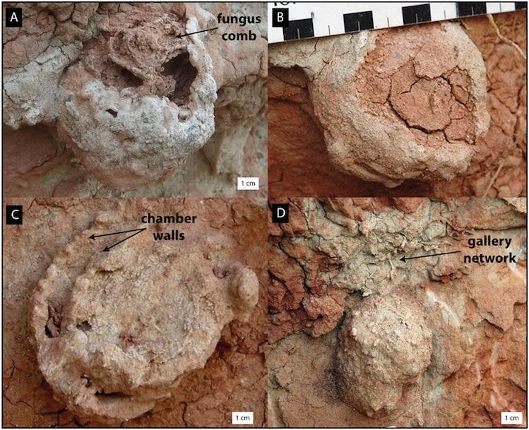 Termit yuvası fosillerinde farklı morfolojiler ve aşınma evreleri görülüyor. (F: Roberts, et al. / CC BY-4.0)