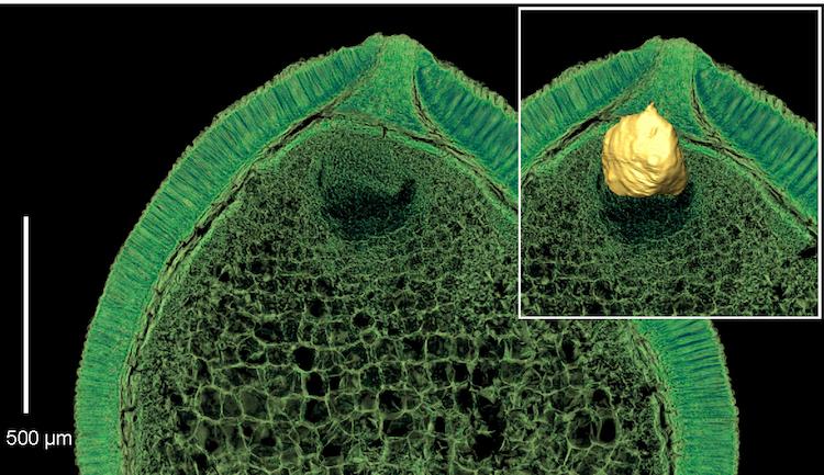 Kretase dönemi ilk zamanlarından kalan iyi muhafaza edilmiş embriyo ve besin deposunu gösteren sanal kesitler (Soldaki: 2D canlandırım, sağdaki: 3D canlandırım). F: Else Marie Friis.