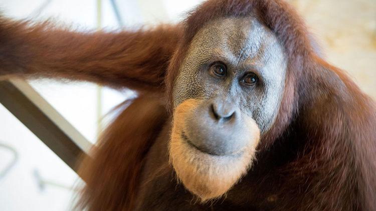 Orangutan Rocky. (F: Mark Kaser/Durham Üniversitesi)