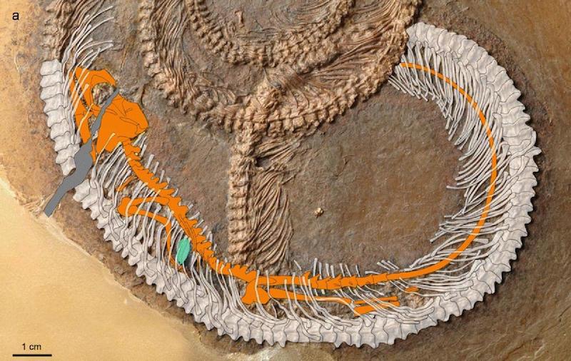 Yılan beyaz renkle, Geiseltaliellus maarius türü kertenkele turuncu renkle, böcek ise mavi renkle gösteriliyor.