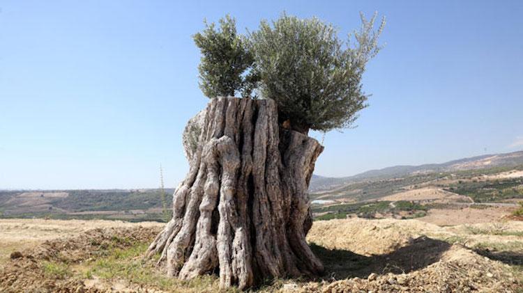 Mersin'de 800 Yıllık Zeytin Ağacı Yeniden Meyve Verdi