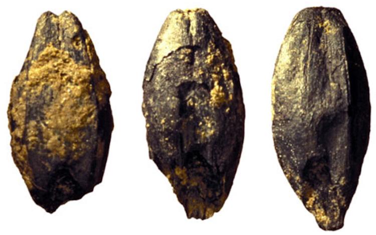 Demir Çağı Kelt yerleşiminden yanmış arpa tahılcıkları. Bu gibi buluntular, biraya dumansı ve ekşi tadı sağlayan bira yapım işleminin bir parçası olarak bu arpaların maltlaştırıldığını belirlemek için yapılan deneylere ilham verdi (H.-P. Stika)