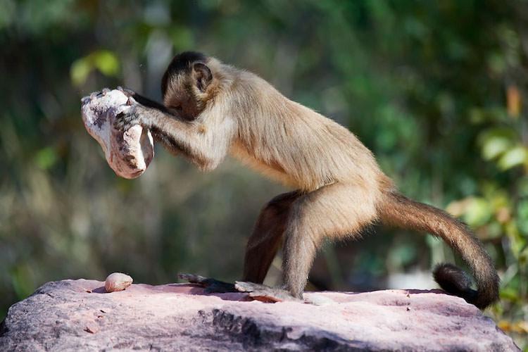 Maymunlar Sadece İnsanların Keskin Kenarlı Taş Aletler Yapabildiği Teorisini Çürüttü