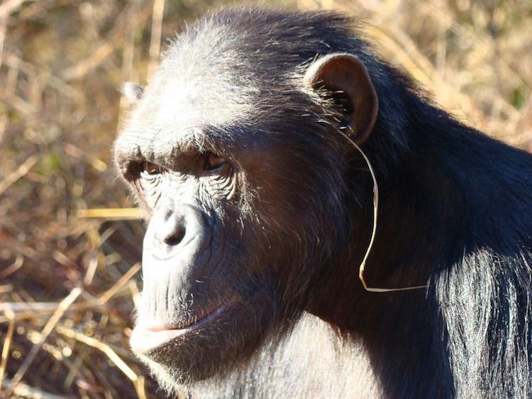 F: Edwin J. C. van Leeuwen et al / Animal Cognition